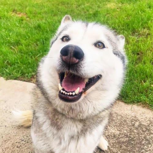 Coco - Siberian Husky Dog