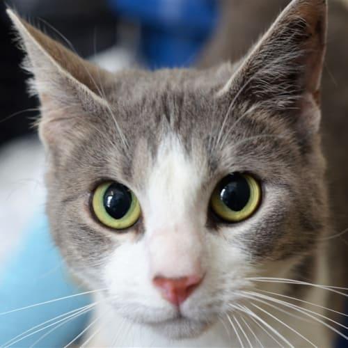Becky - Domestic Short Hair Cat