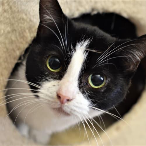 Lottie - Domestic Short Hair Cat