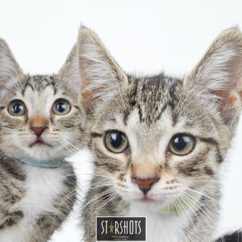Aquata and Attina - Domestic Short Hair Cat
