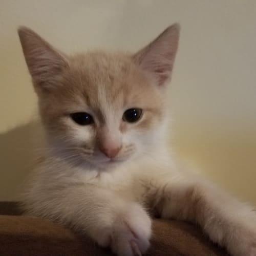 Sonic - Domestic Short Hair Cat