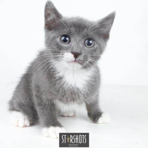 Carlisle  - Domestic Short Hair Cat