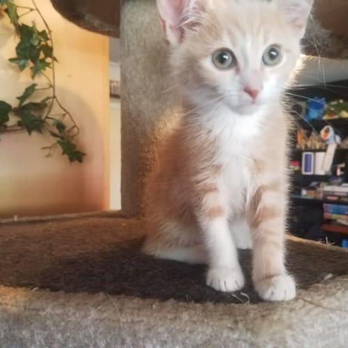 Tails - Domestic Short Hair Cat