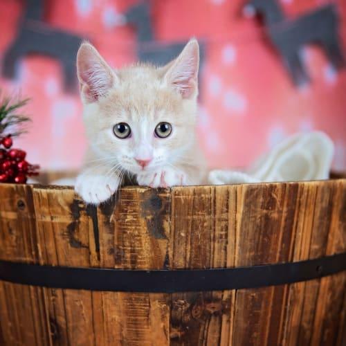 Cream - Domestic Short Hair x Manx Cat
