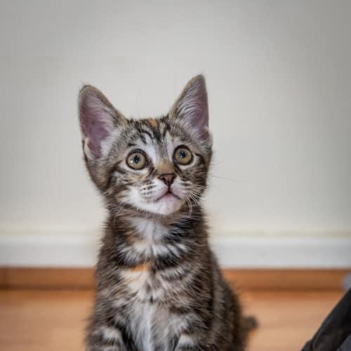 Pepper NK2805 - Domestic Short Hair Cat