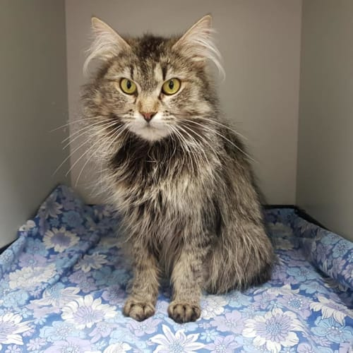 Peggy - Domestic Medium Hair Cat