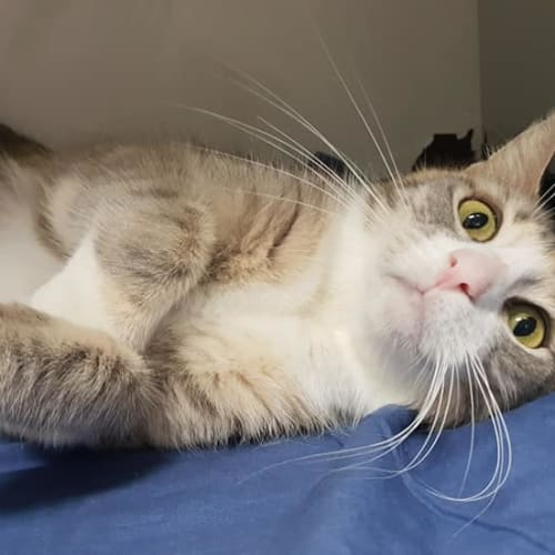Iggy - Domestic Short Hair Cat
