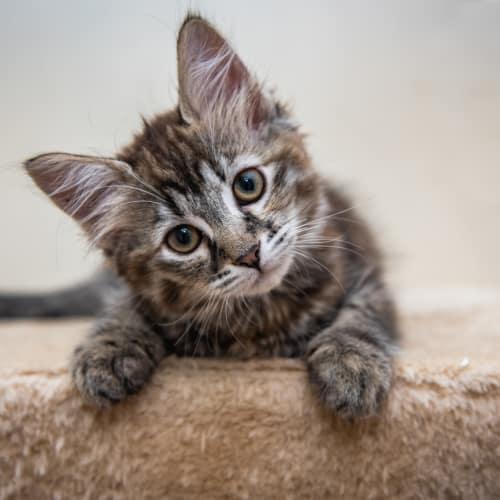 Poppy NK2806 - Domestic Medium Hair Cat