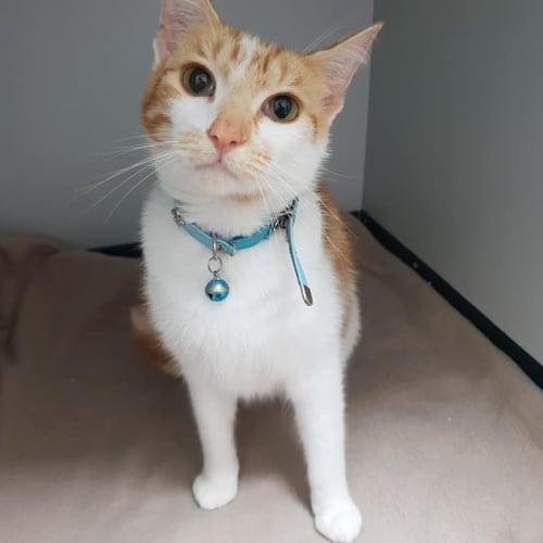 Boomer - Domestic Short Hair Cat
