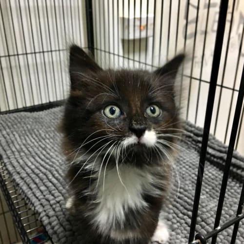 Ying - Domestic Medium Hair Cat