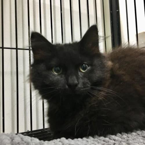 Ella - Domestic Medium Hair Cat