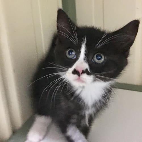 Salvador - Domestic Short Hair Cat
