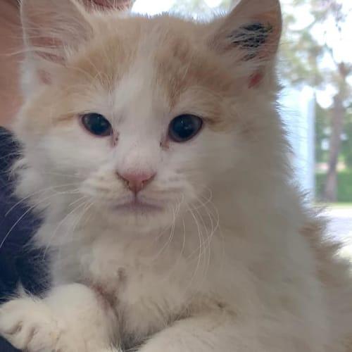Lanni - Domestic Medium Hair Cat