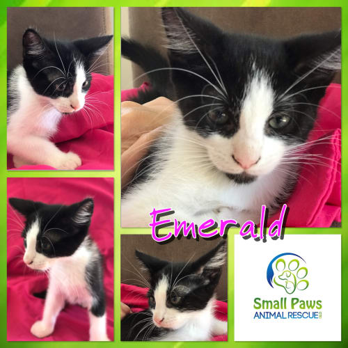 Emerald - Domestic Short Hair Cat