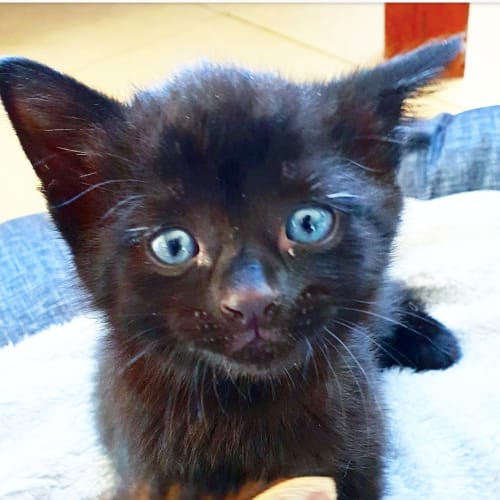 Kentucky and Francisco - Domestic Short Hair Cat