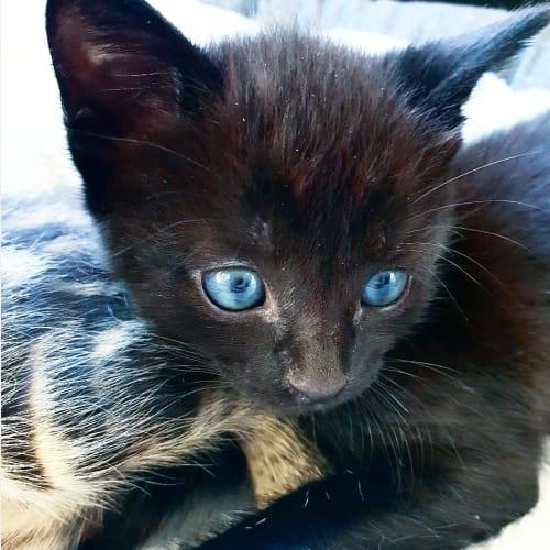 Francisco - Domestic Short Hair Cat