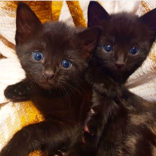 Francisco and Kentucky - Domestic Short Hair Cat