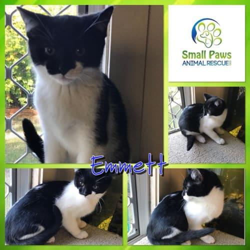 Emmett - Domestic Short Hair Cat