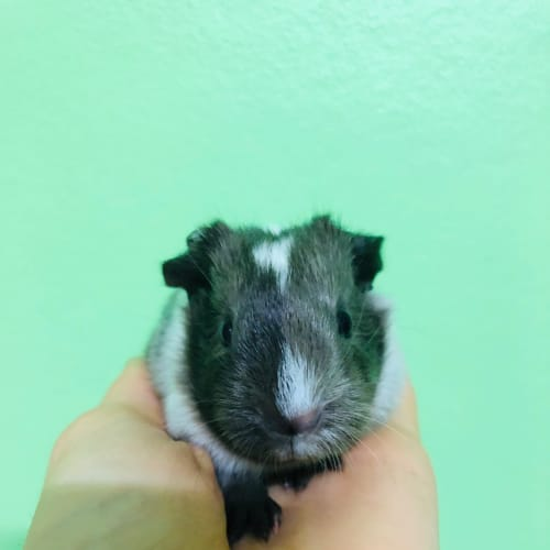 Prancer - Smooth Hair Guinea Pig