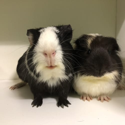 Brussel & Cupid  - Smooth Hair Guinea Pig