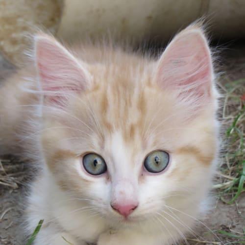 Hobson - Domestic Medium Hair Cat