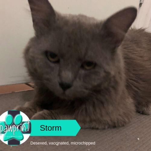 Storm - Domestic Medium Hair Cat