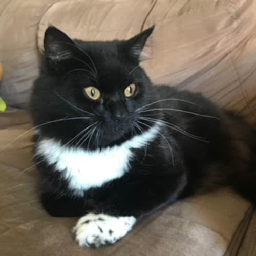 Mojo - Domestic Medium Hair Cat