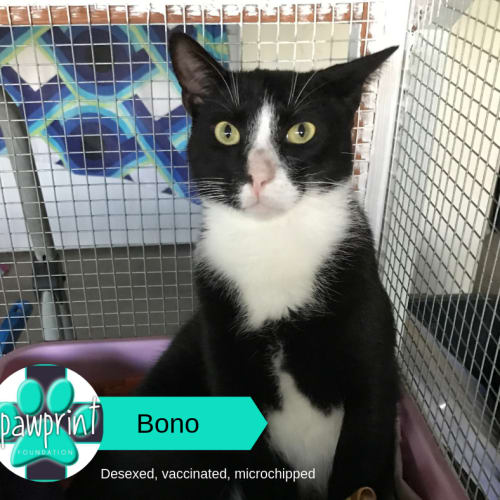 Bono - Domestic Short Hair Cat