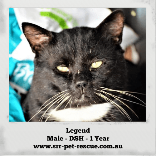 Legend - Domestic Short Hair Cat