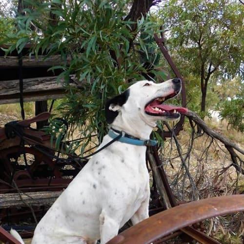 Henry - Bull Arab Dog