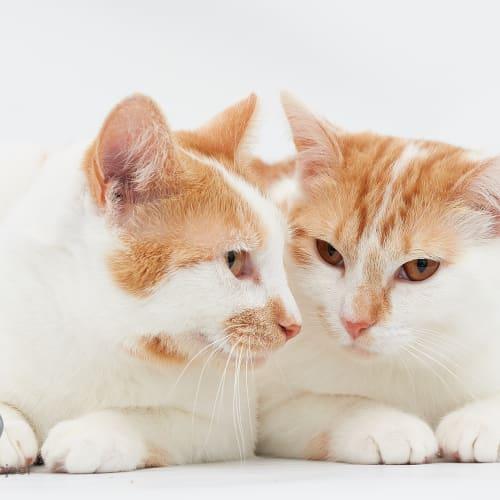 Peach and Mama Rosa - Domestic Short Hair Cat