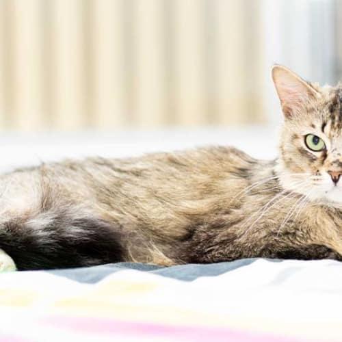 AC1036 - Indie - Domestic Medium Hair Cat