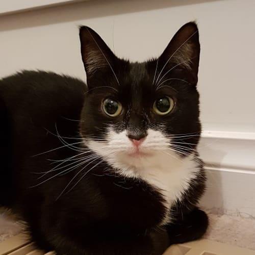 Venus - Domestic Short Hair Cat