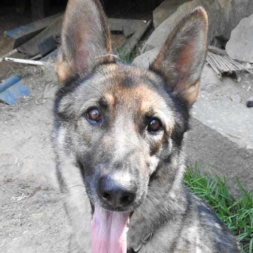 Arthur (bonded with Ivy) - German Shepherd Dog