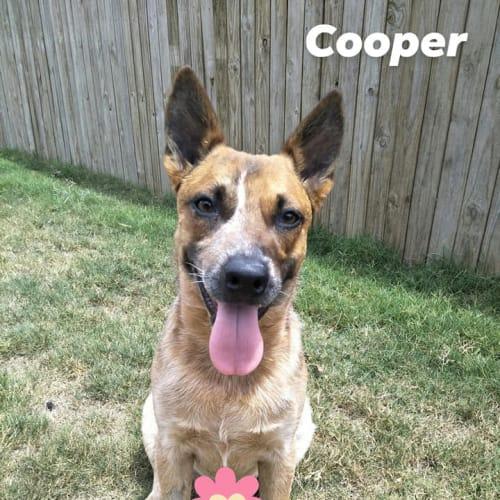 Cooper - Australian Cattle Dog