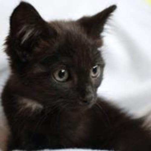 Kimi - Domestic Short Hair Cat