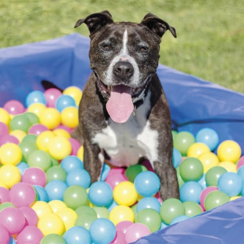 Lachie - American Staffordshire Bull Terrier Dog