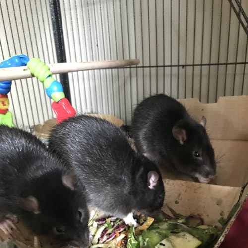 3 Lovely young boys -  Rodent