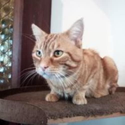 Mr Karamel - Domestic Short Hair Cat