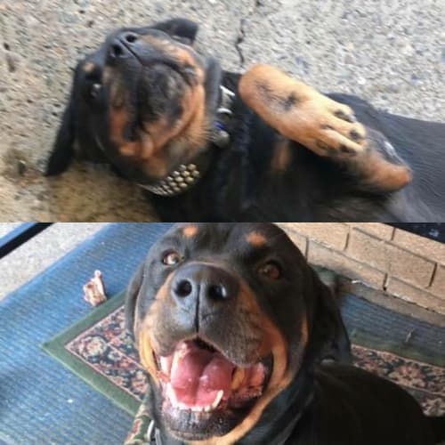 Nikki & Bella - Rottweiler Dog