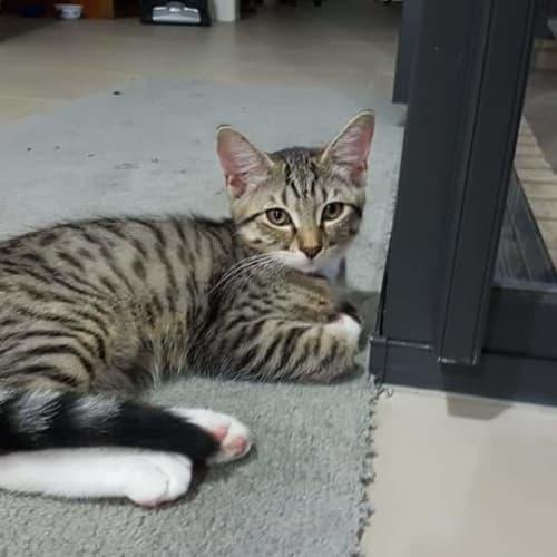 Jack - Domestic Short Hair Cat