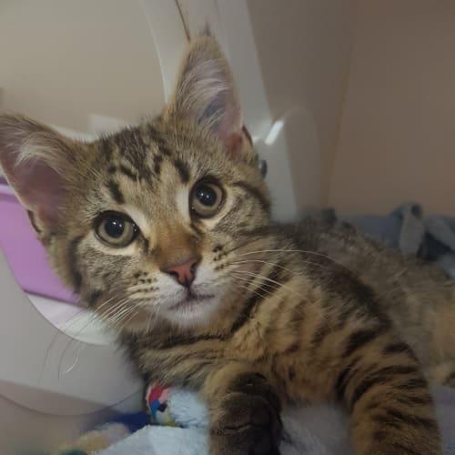 Pistachio - Domestic Short Hair Cat