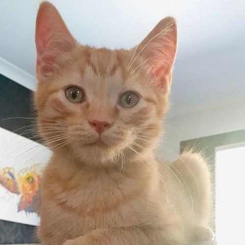 Sprocket - Domestic Short Hair Cat
