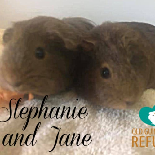 Stephanie and Jane - over 18 years of age only - Smooth Hair Guinea Pig