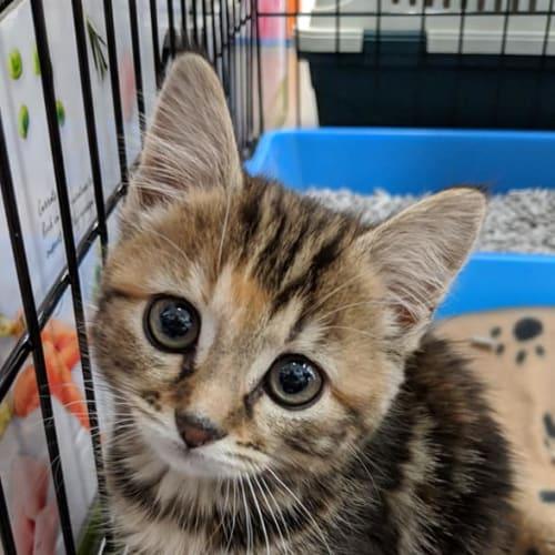 Emmie - Domestic Short Hair Cat