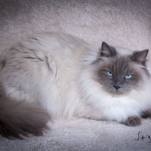 Tobi - Ragdoll Cat