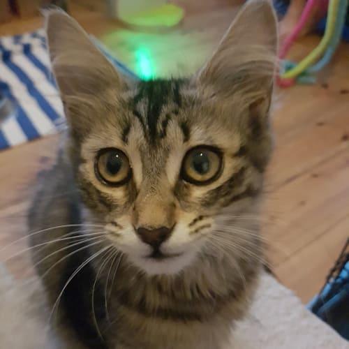 Dante (Located in Williamstown) - Domestic Short Hair Cat