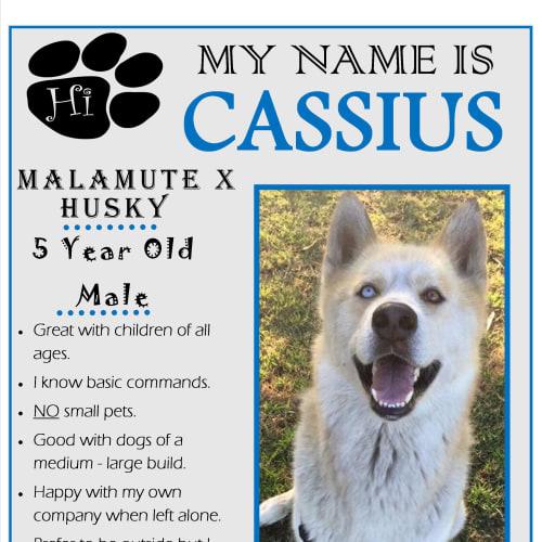Cassius - Alaskan Malamute x Siberian Husky Dog