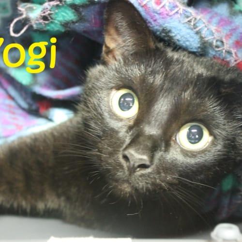Yogi - Domestic Short Hair Cat