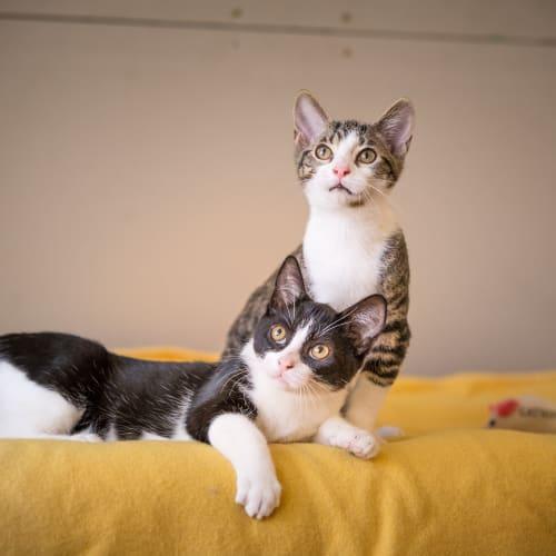 Gatsby & Gizmo - Domestic Short Hair Cat